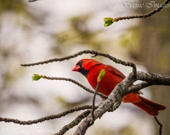 Cardinal in Springtime