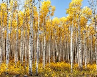 "Aspen Wall Art   ""Kebler Pass Aspen Stand""   Golden Aspen Fall Foliage - Aspen Tree Photo - Colorado Wall Art - Aspen Fall Decor"