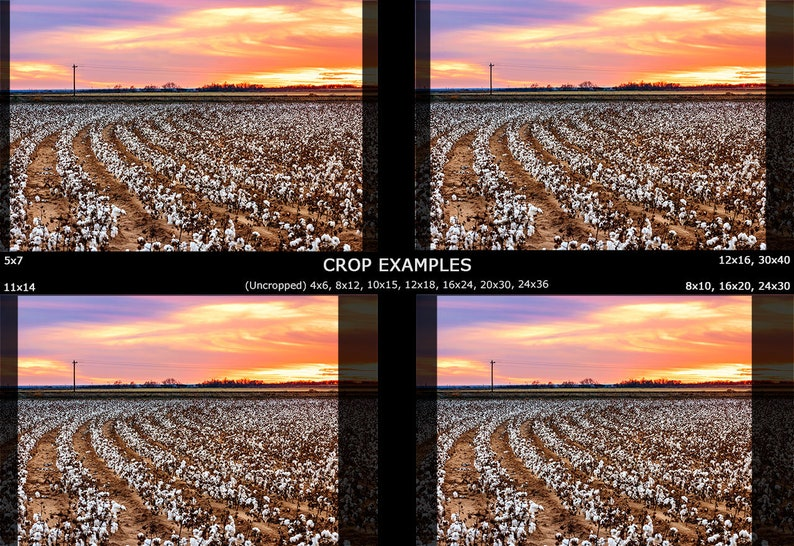 West Texas Photo Texas Cotton Photography Cotton Field Photo Texas Farmhouse Decor Rural Landscape Print Roadside Cotton Field Sunset