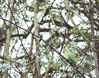 Parakeet Print, Fine Art Photography, Nature Wall Decor, Bird Photography, Animal Print