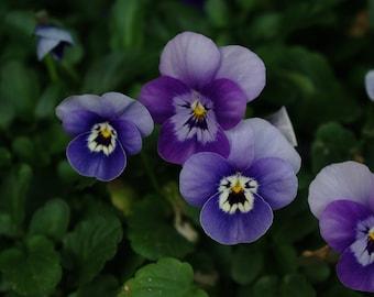 Photo print of purple pansies