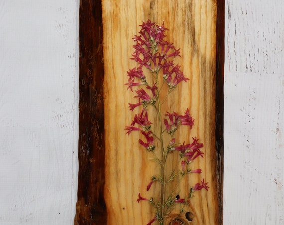 Botanical Wildflower Art! Real Scarlet Gilia Wildflowers from Idaho on live edge pine wood to hang on your wall. Country Chic