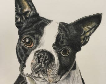 Boston Terrier Print - Coloured Pencil Portrait