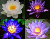 10 Lotus Flower Seeds, Pink, Blue, White, Purple, Fresh Exotic Rare 4 Colors Mixed Lotus Flower Seeds