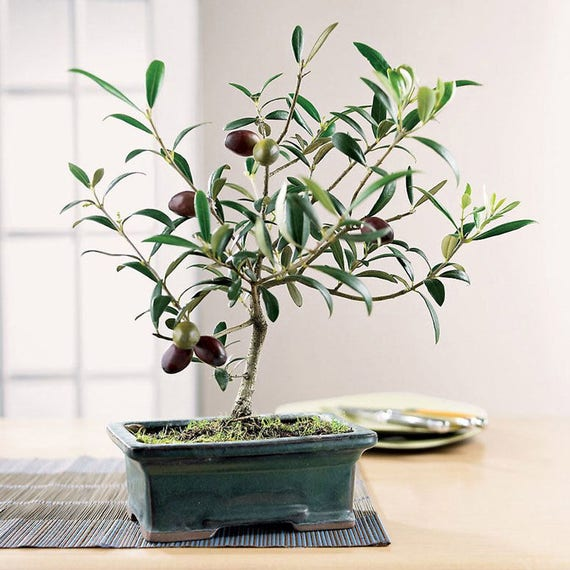 10 Olive Bonsai Tree Olea Europaea Seeds Exotic Etsy