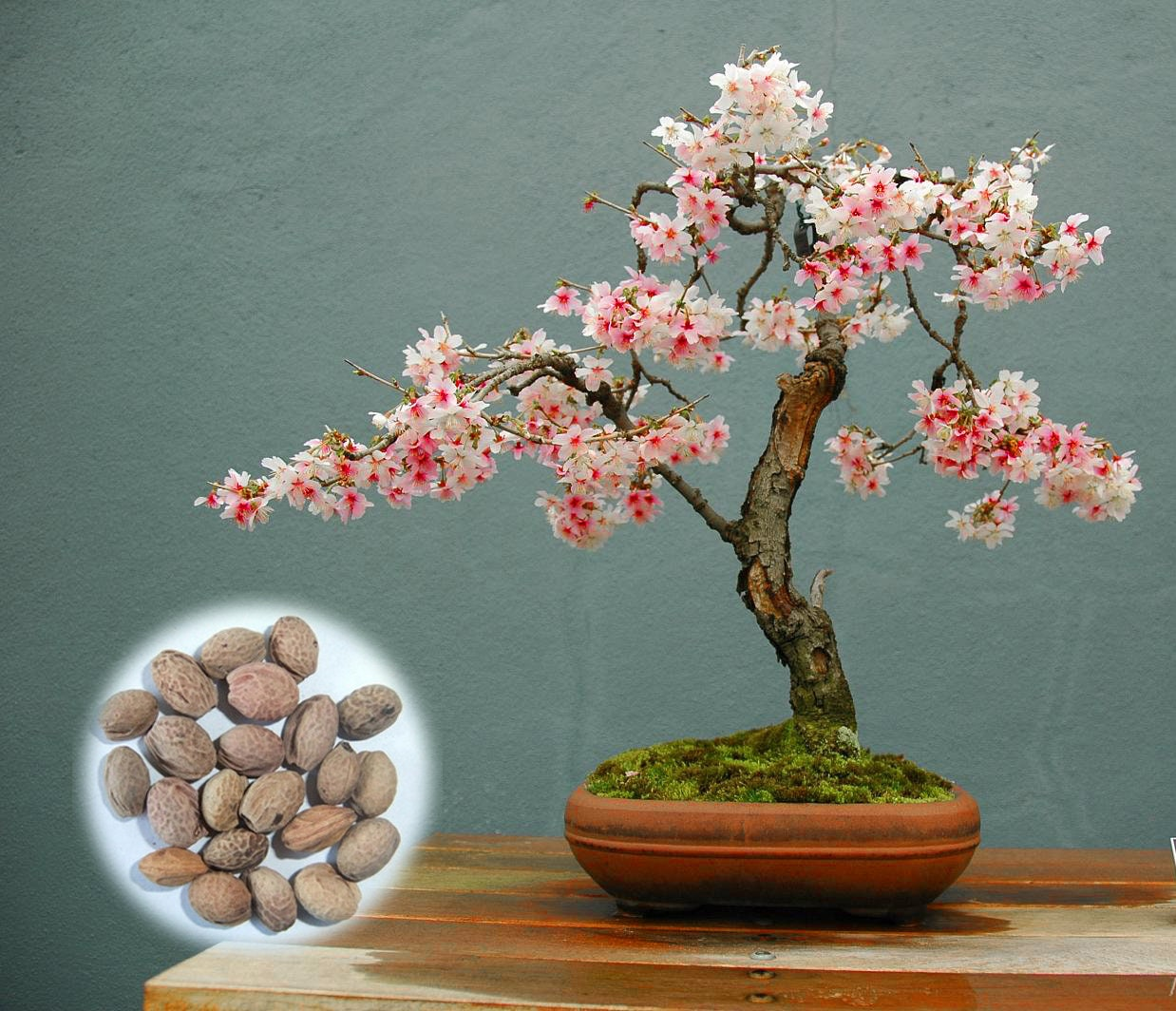 Seeds Sakura Cherry Blossom For Garden Flower Bonsai Tree Indoor Flowers Plants Sfhs Org