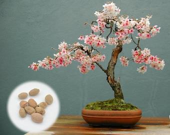 10 Japanese Flowering Cherry Blossom Bonsai Seeds, Fresh Exotic Rare Bonsai Seeds