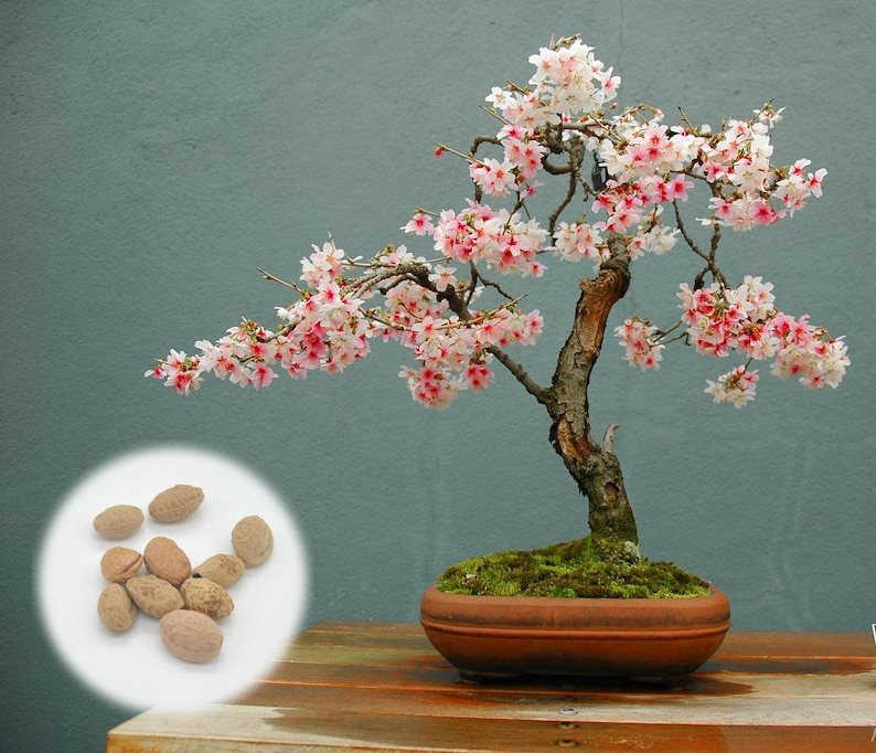 10 Japanese Flowering Cherry Blossom Bonsai Seeds Fresh image 0