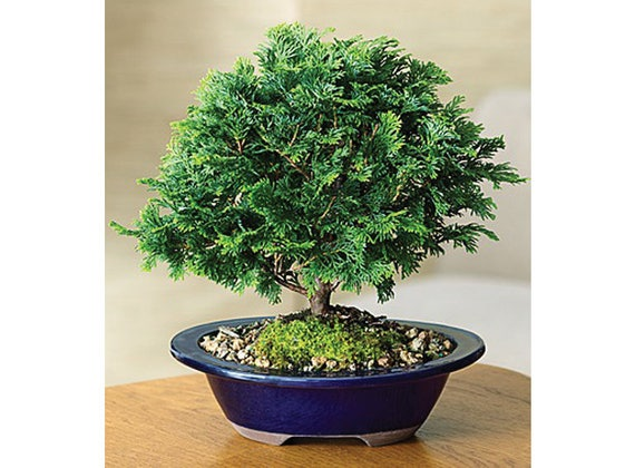 15 Hinoki Cypress Chamaecyparis Obtusa Seeds Rare Exotic Etsy