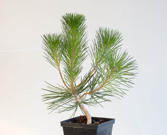 10 Japanese Black Pine Pinus Thunbergii Bonsai Tree Seeds Etsy