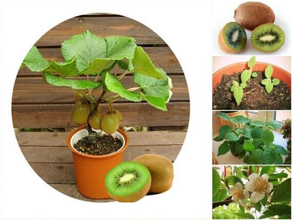 20 Thailand Mini Kiwi Fruit Bonsai Fresh Seeds Delicious Etsy