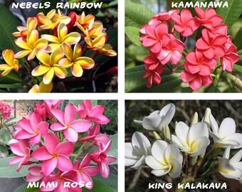 10 Plumeria ( Frangipani, Hawaiian Lei Flower ) Seeds, Rare Exotic Flower Plant Seeds, Mix 4 Colors