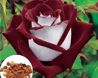 20 Rare Blood Red and White Hybrid Tea Rose Seeds, Exotic Home Garden Osiria Rose Plant Seeds, Growing Rose from Seeds