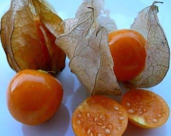 Physalis edulis live plant 6+ inches (Inca Pineapple, Golden Berry, Cape Gooseberry)