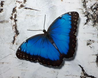 Blue Morpho 3D Butterfly decoration/decal
