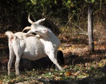 Fainting goats | Etsy