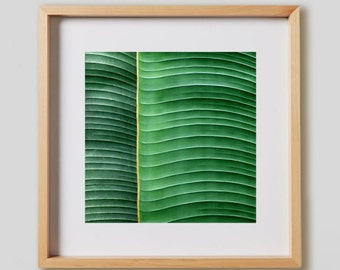 Plantain Leaf Print.  Nature photography, green, tropical, botanical, decor, wall art, artwork, large format photo.