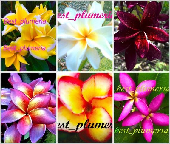 Plumeria Seeds//Flowers// Blackwindow 100 Seeds Rare!!