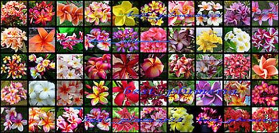Plumeria SeedsFlowersMixed 305 Seeds Rare! NEW