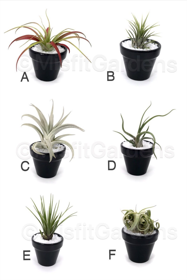 Rudolph Air Plant Holder with Plant