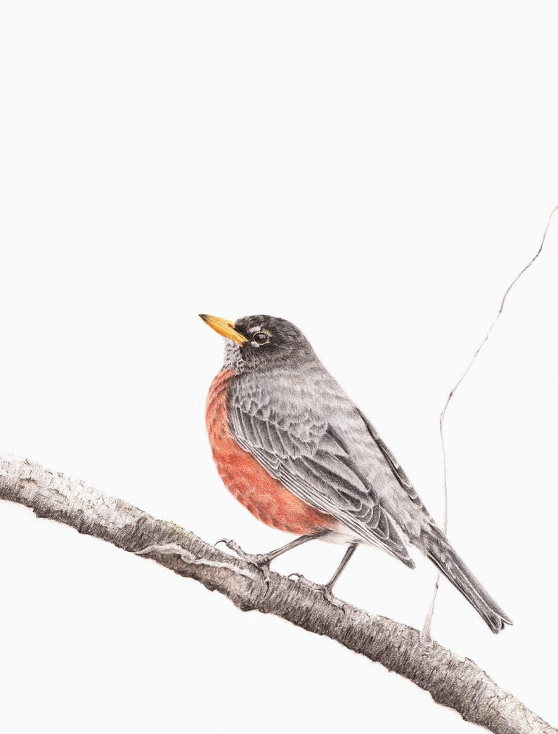 Original American Robin Drawing  Bird Drawing  Wildlife image 0