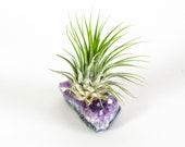 Air plant Tillandsia Ionantha with Amethyst Geode, air plant with Amethyst, christmas gift, house plant, live air plant, air plant gift
