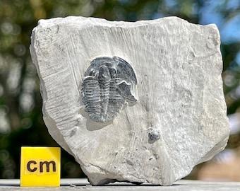 Elrathia Fossil Trilobite 100% Genuine Specimen USA Cambrian FST056 *CERTIFICATED*