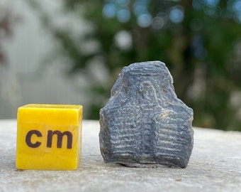 Fossil Trilobite - Elrathia - 100% Genuine Specimen - Cambrian USA - FST164 *CERTIFICATED*