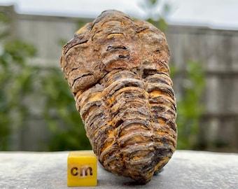 Diacalymene Trilobite Fossil - 100% Genuine Specimen - Morocco, Devonian - FST107 *CERTIFICATED*