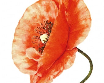 POPPY / Botanical Watercolor Hand Finished Art Print By Maria Gibson