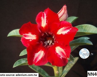 Adenium Thai Socotranum Desert Rose Sabi Star / 5 seeds | Etsy
