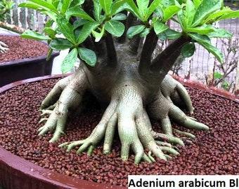 Adenium seeds | Etsy