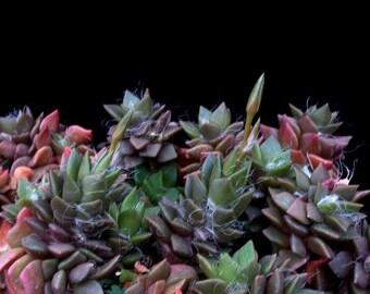 Anacampseros mix / 20 seeds