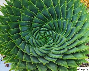 Aloe polyphylla / Spiral aloe of Lesotho / 5 seeds