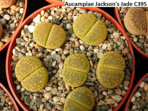 RARE 20 seeds Lithops aucampiae /'Jackson/'s Jade/' Living Stones