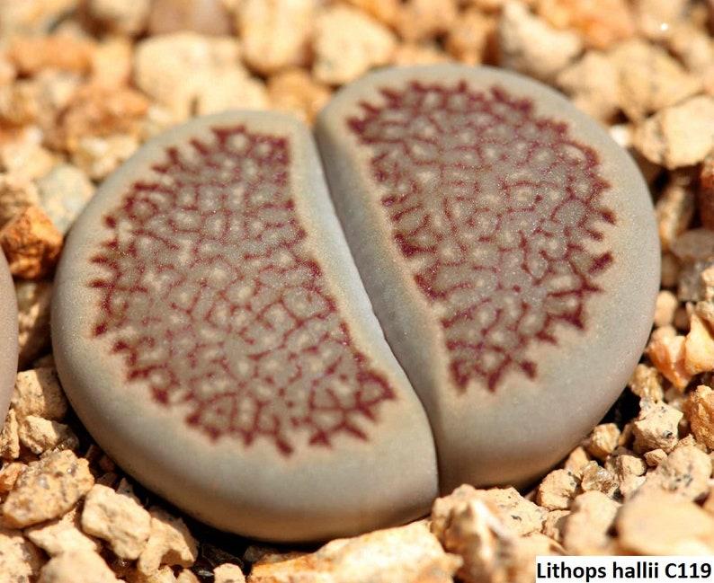 10 seeds Lithops pseudotruncatella ssp archerae C104