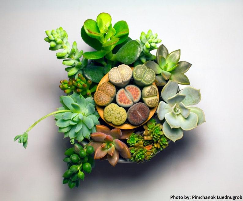 Succulents Seeds SURPRISE Box image 0