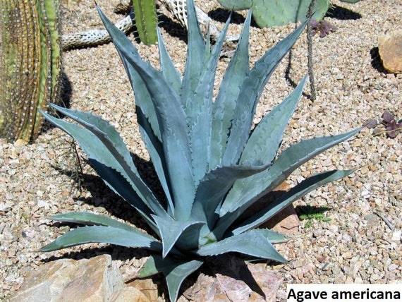 Agave Americana Century Plant American Agave 10 Seeds Etsy