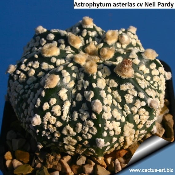 astrophytum asterias rainbow flowers 5 seeds