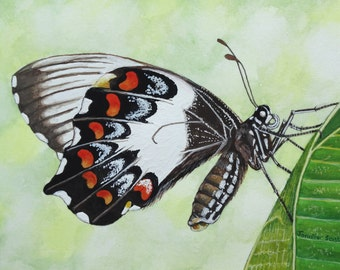 Greeting card -Orchard Swallowtail Butterfly