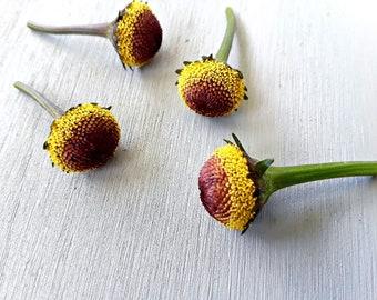"Acmella oleracea( spilanthes): Szechuan buttons, Buzz buttons, toothache plant--- ""FRESH"" buttons"