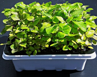 Szechuan button plant (Acmella oleracea)  Grow Kit: OPEN-- WATER---WATCH!