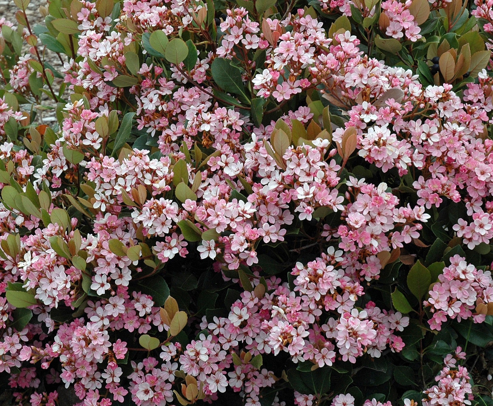 Indian Hawthorn Eleanor Tabor Pink Lady Rhaphiolepis Etsy