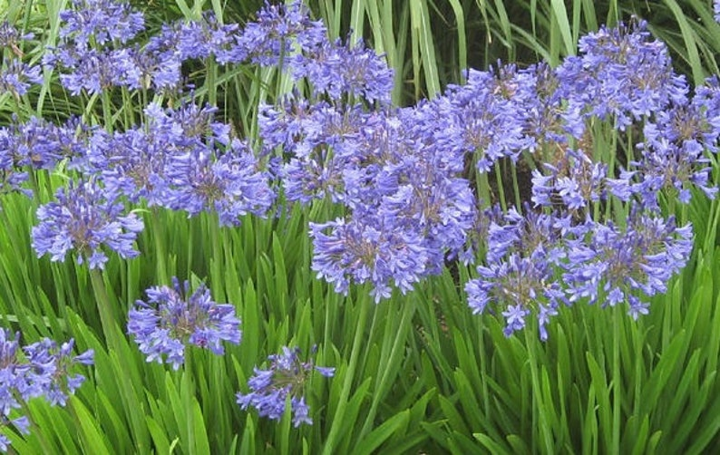 Blue Lily of the Nile LIVE POTTED Plant 10 Plants Agapanthus Africanus