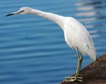 LITTLE BLUE HERON  (white phase)