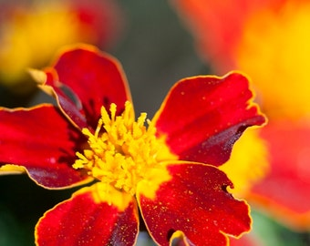 STILL LiFE RED BOTANICAL: floral, summer flowers, fine art florals, flower photos, flower pics, red yellow flowers, wall art, floral print