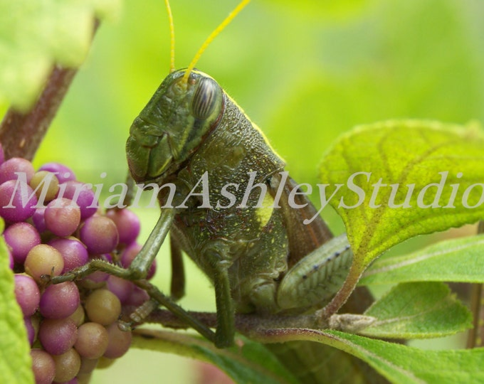 Grasshopper and Beauty Berries Digital Photo