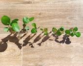 Pilea Peperomioides Pups, Chinese Money Plant, Pancake Plant, Indoor Plant, House Plant, Baby Plants, Baby Pileas, Rare Houseplants