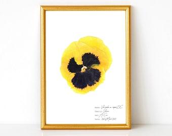 Yellow pansy botanical print, Pansy flower art, Pansy flower illustration, Gift for her, Gardening lover home decor