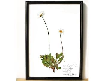 Daisy wall print - Botany art - flower home decor idea - boho chic home decor - Botanical print